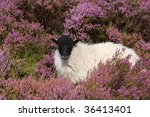 A Sheep Sits In The Heather In...