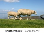 sheep walking and grazing at the borders of the wadden sea in Friesland(Holland) - stock photo
