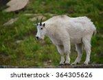 Mountain Goat Profile