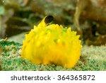 Black Faced Blenny on yellow sea sponge