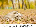Stock photo alaskan malamute puppy and scottish kitten lying together in autumn park 364502315