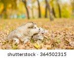 Stock photo alaskan malamute puppy and scottish kitten lying together in autumn park 364502315