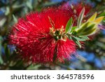 Bottle Brush Tree Flower