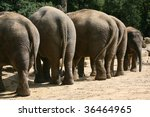 row of elephants (elephas maximus) with a baby elephant in a zoo in Holland - stock photo