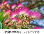 Small photo of Beautiful pink flowers on the tree - Japanese acacia, Albizia julibrissin