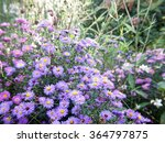 Flowering Asters In Autumn At...