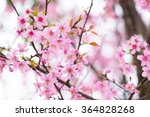 sakura flower or cherry blossom ... | Shutterstock . vector #364828268