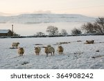 Sheep In The Snow Below Penhill
