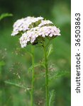 Small photo of Yarrow flowers (Achillea millefolium) in meadow