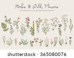 Herbs and Wild Flowers. Botany. Set. Vintage flowers. Colorful illustration in the style of engravings. | Shutterstock vector #365080076