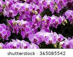 close up of pink orchid... | Shutterstock . vector #365085542