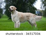 dog golden retriever on green... | Shutterstock . vector #36517036