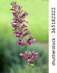 Small photo of Mosquito plant; Agastache cana