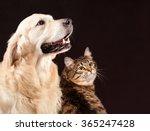 Stock photo cat and dog siberian kitten golden retriever looks at right 365247428