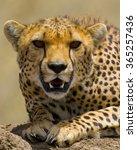 Portrait Of A Cheetah. Close U...
