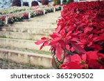 Red Poinsettia Flowers With...