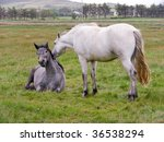 affectionate horses in field ... | Shutterstock . vector #36538294