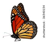 Stock photo single monarch butterfly isolated on white background 36540154