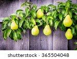 Pears At A Tree   Close Up