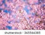 pink sakura  cherry blossom in... | Shutterstock . vector #365566385