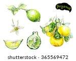 bergamot watercolor... | Shutterstock . vector #365569472