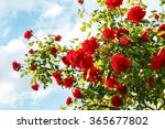 Stock photo red roses bush in the garden 365677802