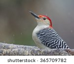 Red Bellied Woodpecker On Branch