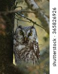 Small photo of Boreal owl, Aegolius funereus bavarian forest,Germany