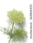 Small photo of Bishop herb ivisnaga; Ammi; Khella