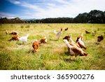 A Flock Of Chickens Roam Freel...