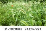 Green Foxtail Weeds In Nature.