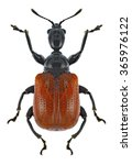 Small photo of Beetle Apoderus coryli on a white background