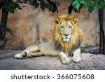 Portrait Of Lion.