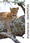 leopard lies on a tree.... | Shutterstock . vector #366090926