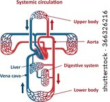 circulatory system | Shutterstock .eps vector #366326216