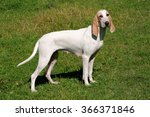 typical porcelaine hound  in...   Shutterstock . vector #366371846