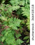 Small photo of Sweet cicely herbal plant Myrrhis odorata spice herbal plant