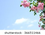 Stock photo pink roses under blue sky 366511466