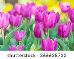 Purple Tulip In Field