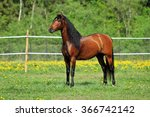 thoroughbred young horse posing ...   Shutterstock . vector #366742142