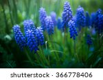 Grape Hyacinth With Water Drop...