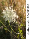 Flower Of Wild Carrot Weed ...
