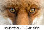 Small photo of Eyes of the Red European Fox