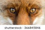 eyes of the red european fox