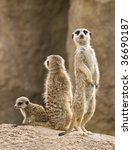 A Family Of Meerkats  Father ...