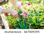 Closeup of hand of woman gardener trimming plants with pruning shears in garden center - stock photo