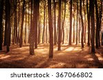 Pine Trees Stand Tall In The...