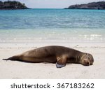 Sea Lion Relaxing On The Beach  ...