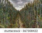 One Fields Of Barley In Summer...