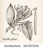 vanilla plant  vintage engraved ... | Shutterstock .eps vector #367347656